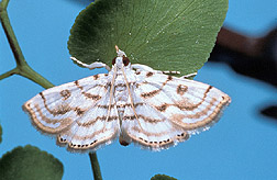 A male moth: Click here for full photo caption.