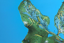 Caterpillars on climbing fern: Click here for full photo caption.