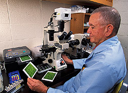 Microbiologist examines cells from cabbage looper: Click here for full photo caption.