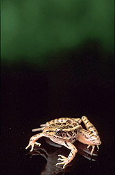 A Northern Leopard frog: Click here for full photo caption.