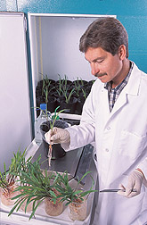 Soil scientist plants corn seedlings: Click here for full photo caption.