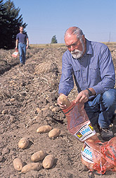 Geneticist and plant pathologist harvest tubers of potato selection: Click here for full photo caption.
