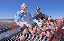 Plant pathologist and geneticist evaluate tubers of potatoes: Click here for full photo caption.