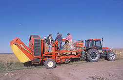 Preparing to unload harvested potatoes: Click here for photo caption.