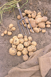 Ivory Crisp (foreground) and Alturas potatoes:  Link to photo information