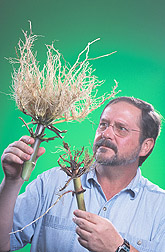 Entomologist examines corn roots: Click here for full photo caption.