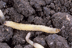 Photo:  Western corn rootworm larvae (about one-quarter inch long).  Link to photo information