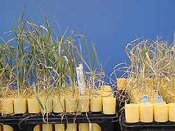 Wheat cultivars: Click here for full photo caption.
