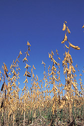 Photo:  Soybeans. Link to photo information