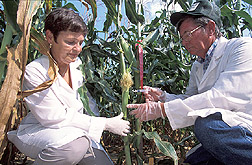 Plant physiologist and biological lab technician inoculate corn ears: Click here for full photo caption.