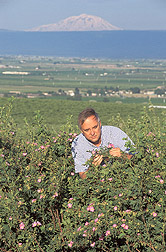 Entomologist looks for parasitic wasps on multifloral roses: Click here for full photo caption.