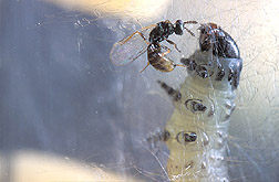 Colpoclypeus wasp attempts to sting larva of leafroller. Click the image for additional information about it.