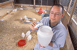 Visiting scientist adds a probiotic culture to the drinking water of turkey poults: Click here for full photo caption.