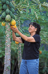 Plant physiologist and her colleagues pick fruit from a Laie Gold tree: Click here for full photo caption.