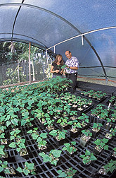 Horticulturist and Dennis Gonsalves in greenhouse containing micropropagated Rainbow plants: Click here for full photo caption.