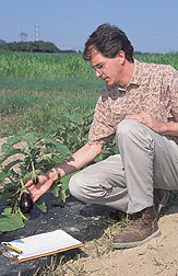 Geneticist examines fruit of a Solanum melongena eggplant: Click here for full photo caption.