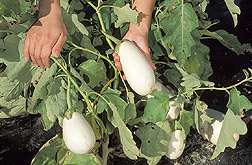 White-pigmented eggplants.