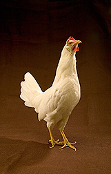 Photo: Chicken. Link to photo information