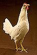 White Leghorn chicken.