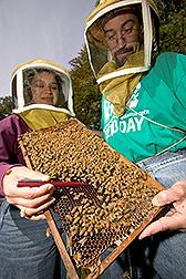 Investigadores vigilan las colmenas de las abejas de la miel. Enlace a la información en inglés sobre la foto