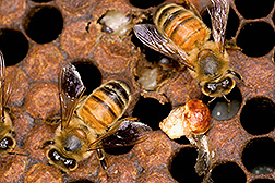 Photo: Worker honey bees and the mummified remains of larvae infected by chalkbrood. Link to photo information