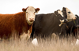 Cows: Click here for full photo caption.