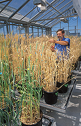 Plant physiologist harvests a wheat head: Click here for full photo caption.