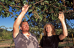 Two geneticists evaluate hardy kiwifruit: Click here for full photo caption.
