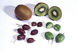 Familiar kiwifruit and grape-sized hardy kiwifruit: Click here for full photo caption.