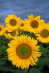 Sunflowers: Click here for photo caption.