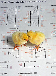 Two chicks stand on gene map printout. Link to photo information