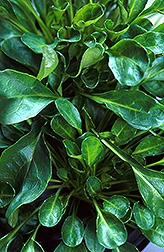 Thlaspi plants: Click here for full photo caption.
