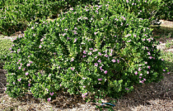 "Polygala myrtifolia, an evergreen shrub also known as ""cape milkwort."" Click here for photo caption."