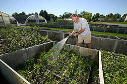 Technician waters young apple rootstock seedlings: Click here for full photo caption.