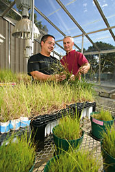 Technician and microbiologist examine pot cultures of bahiagrass and arbuscular mycorrhizal fungi in the greenhouse: Click here for full photo caption.