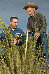 ARS agronomist and retired NRCS range conservationist measure new, taller forage kochia obtained from Uzbekistan: Click here for full photo caption.
