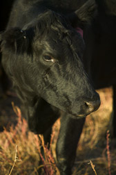 An Angus cow enjoys a meal of grass and forage kochia. Link to photo information