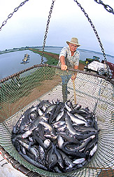 A fish farmer guides a basket containing 2,000 pounds of catfish into a truck for transport to a processing plant: Click here for full photo caption.