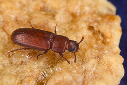 Red flour beetle, about one-eighth-inch long: Click here for photo caption.
