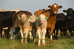 DNA-based technology complements traditional methods for identifying cattle, like the ear tags on these USMARC cross-bred calves: Click here for full photo caption.
