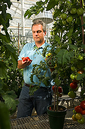 Molecular biologist examines high-lycopene tomatoes from HIGH-PIGMENT 1 mutant varieties: Click here for full photo caption.