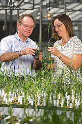 ARS support scientist and small grains breeder at Purdue University examine plants that are resistant and susceptible to Hessian fly: Click here for full photo caption.