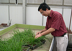 ARS entomologist identifies resistant plants from wheat seedlings attacked by Hessian fly larvae: Click here for full photo caption.