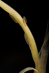 Hessian fly larvae on wheat seedling. Link to photo information