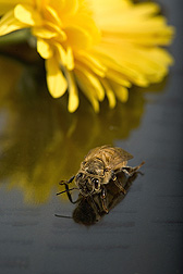 Newly emerged honey bee. Link to photo information