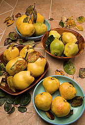 Assorted quince varieties from the germplasm collection at the USDA-ARS National Clonal Germplasm Repository in Corvallis, Oregon: Click here for full photo caption,
