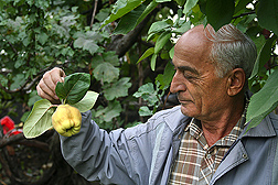 Before sharing cuttings with USDA plant explorers visiting his orchard, Dr. Vagharshak Hayrapetyan, of the Scientific Center for Viticulture, Fruit Growing, and Winemaking, in Yerevan, Armenia, explains that the Chartar Gyugh quince variety ripens late and can be stored almost until spring: Click here for photo caption.