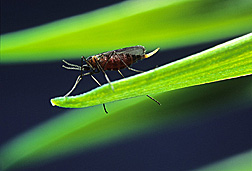 Female Hessian fly, about 1/8 inch long. Link to photo information