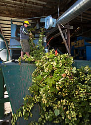 Oregon State University student technician loads recently harvested hop plants into the stationary picker for harvesting and separating hop cones from other plant material: Click here for full photo caption.