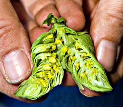 A hop cone is split apart to reveal lupulin glands, which produce the beta acids present in hops: Click here for photo caption.